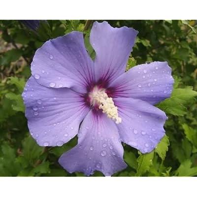 50 Blue Bird Rose of Sharon Hibiscus Syriacus Flower Tree Bush Seeds : Garden & Outdoor