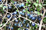 Rare seeds Coprosma Propingua -New Zeeland Mingimingi fruits - 3 fresh seeds