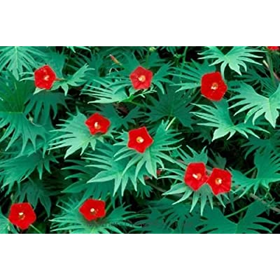 "Cardinal Climber ""Ipomea"" 40 Seeds : Garden & Outdoor"
