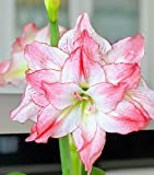 Named for the Greek goddess of love and beauty, Aphrodite is a gorgeous double amaryllis, with a blush pink wash on the petal tips, blood red veining and a razor-edge red border. Big blooms flaunt multiple swept-back petals for a full, open l...