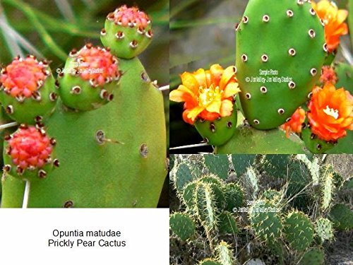 Mexican Prickly Pear (Opuntia matudae Xoconostle Prickly Pear Cactus 10 Seeds yellow flowers green - pink fruit drought tolerant ornamental cactus Succulent)