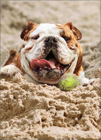 Bulldog Birthday (Dog Sand Tennis Ball Funny Bulldog Birthday Card)