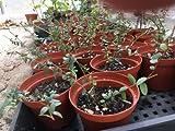 'Stevens' Cranberry Bush - LIVE CRANBERRY PLANT - Vaccinium macrocarpon