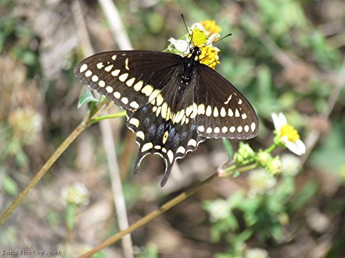 Swallowtail Butterfly Pictures - Florida Swallowtail Butterfly Photo Art Print Size: 8x10