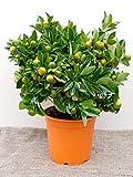 IDEA HIGH Calamondin Tree (Miniature Orange)