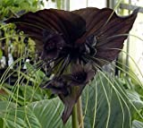 "Rare Black Bat Plant -Tacca chanterii - Exotic Houseplant - 4"" Pot"