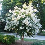Natchez White Crapemyrtle Tree - Live Plant Shipped 1-2 Feet Tall (No California)