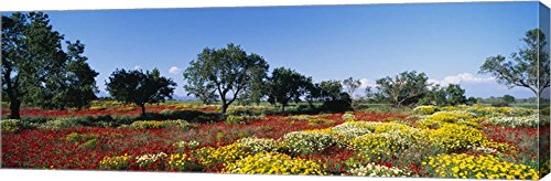 Poppy Meadow with Almond Trees, Majorca, Spain by Panoramic Images Canvas Art Wall Picture, Gallery Wrap, 36 x 12 inches by Great Art Now