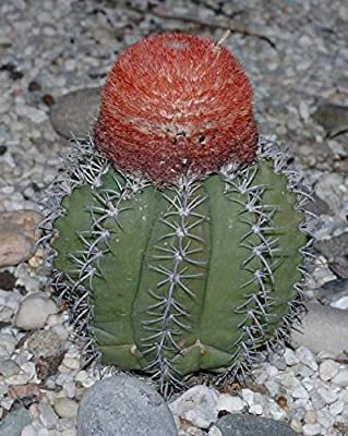 Amazon.com: Fresh Melocactus Matanzanus Seeds from Cactus in ...