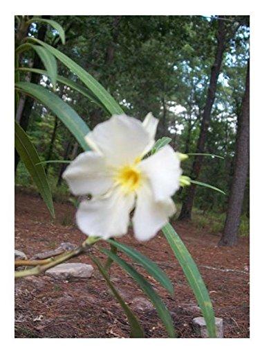 Amazon white oleander plant flowers easy to grow home white oleander plant flowers easy to grow home landscaping plants yard garden mightylinksfo