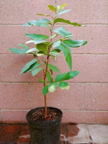 White Guavas Tropical Fruit Trees by bluestargarden168 (Image #2)