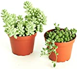 Shop Succulents 4'' Hanging Collection (Pack of 2)