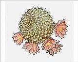 10x8 Print of Illustration of Rebutia krainziana, a globular cactus with pink flowers (13543573)