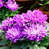 Kasuki 100 Pcs Pericallis Hybrida Aster Flower Bonsai Flower Plant Rainbow Chrysanthemum Bonsai Perennial Flowers Home Garden Plant - (Color: 10)