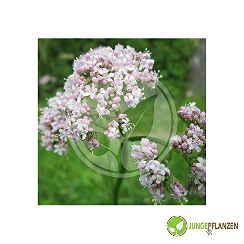 Kräutersamen - Baldrian / Valeriana officinale 30 Samen