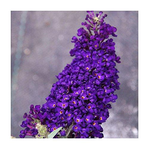 """Cheap 'Buzz' Purple Butterfly Buddleia Bush - Perennial - 4"""" Pot - Healthy Live Plants - 3 Plants for cheap"""