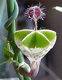 Parachute Plant - VERY RARE STARTER PLANT - Umbrella shaped flowers, Ceropegia Sandersonii - Rare Exotic Succulent Vine