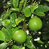 2-3 Year Old (2-3 Ft) Key Lime Tree