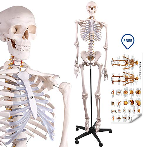LYOU Human Skeleton Model, Medical Anatomical Skeleton Life