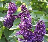 'Charles Joly' Syringa Vulgaris - Branched Lilac Tree 30-40cm Shrub in a 3L Pot. 3fatpigs