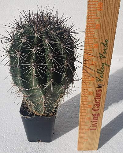 Live Saguaro Cactus Medium - Carnegiea Gigantea by Living Cactus by Valley Verde (Image #3)