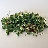 Cal Summer Garden 200+ Cuttings Sedum Hispanicum (Green)