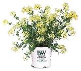 Proven Winners - Lonicera periclymenum 'Scentsation' (Honeysuckle) Vine, , #2 - Size Container