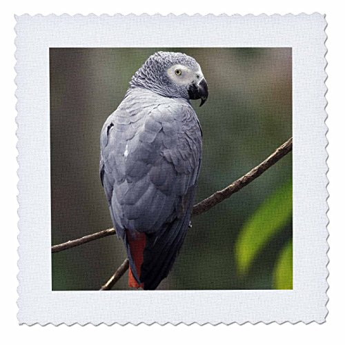 3dRose qs_83574_4 African Gray Parrot, Tropical Bird NA02 AJE0248 Adam Jones Quilt Square, 12 by 12-Inch