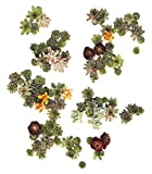 Succulent Gardens Assorted-cutting-living-pictures-125 Living Picture Cuttings Succulent, 125 1 quart, Multicolor