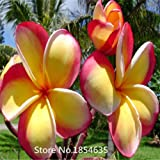 Garden Plant 100PCS/BAG Plumeria ( Frangipani, Hawaiian Lei Flower ) Seeds, Rare Exotic Flower Seeds Bonsai Seed