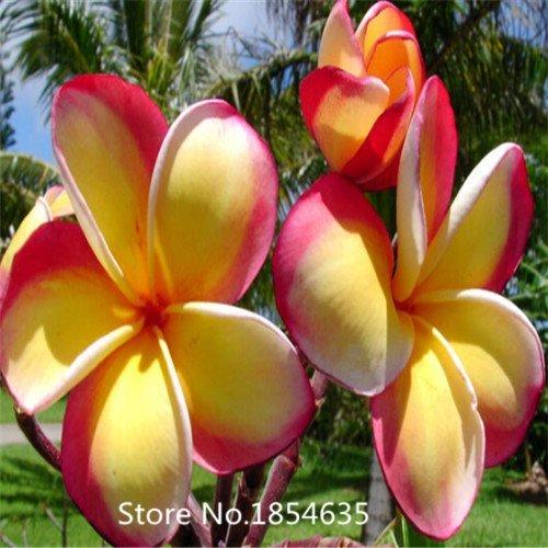 Garden Plant 100PCS/BAG Plumeria ( Frangipani, Hawaiian Lei Flower ) Seeds, Rare Exotic Flower Seeds Bonsai Seed