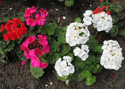 Garden geraniums are grown as annuals .