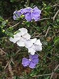 Sandys Nursery Online Brunfelsia Yesterday, Today, Tomorrow 4 inch Pot ~ Starter Plants~