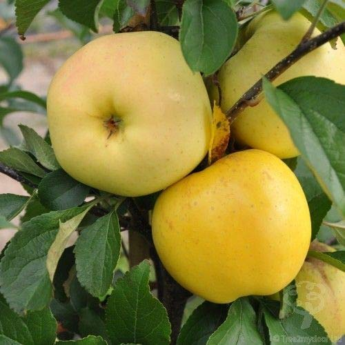 (3 Gallon) GOLDEN DELICIOUS APPLE tree, versatile for eating fresh or using in the kitchen, and can be kept for several months in the fridge.