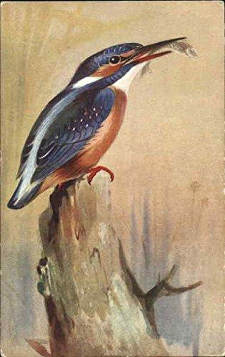 kingfisher-birds-original-vintage-postcard