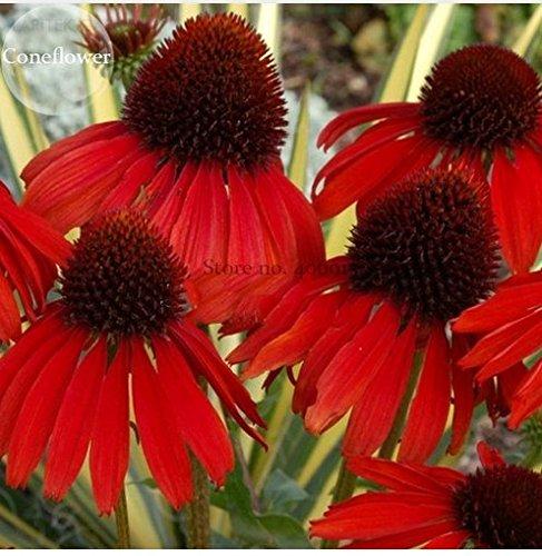 New Rare Echinacea 'Firebird' Dark Red Coneflower, 100+ (Echinacea Seeds)