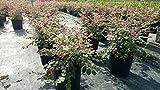 PlantVine Breynia disticha, Snow on The Mountain, Snowbush - Large - 8-10 Inch Pot (3 Gallon), Live Plant - 4 Pack
