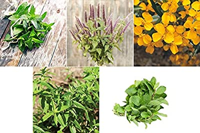 David's Garden Seeds Collection Set Herb Mint MY0418 (Multi) 5 Varieties 1800 Seeds (Non-GMO, Open Pollinated)