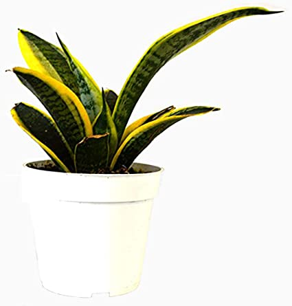large Sansevieria Canvas and glass novelty planter plant air filter removes indoor poisonous gases Snake Tongue oxygen maker unique