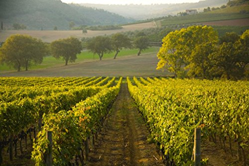 (Sangiovese Grapes in Vineyard Montalcino Tuscany Photo Art Print Poster 18x12 inch)