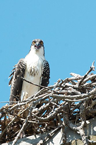 Quality Prints - Laminated 24x36 Vibrant Durable Photo Poster - Wild Life - Sanibel Trip 2013 - Ding Darling Wildlife Refuge - Osprey There are Lots of Osprey on Sanibel and Captiva. in The Ding
