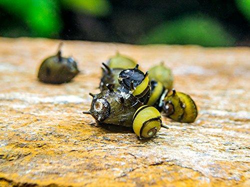 - Aquatic Arts 5 Live Zebra Thorn/Horn Nerite Snails   Nano Aquarium Tank Snail   Great with Dwarf Shrimp/Aquarium Plants/Freshwater Fish