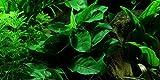 Anubias barteri var. nana - Live aquarium plant