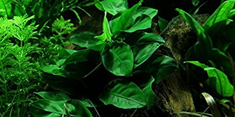 Risultati immagini per anubias piante acquario