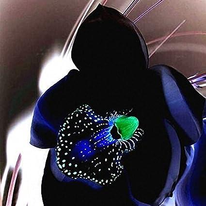 Amazon Com Egrow 100 Pcs Rare Black Orchid Flower Seeds Exotic