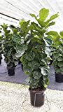 Fiddle Leaf Fig Live Tree - Very Large - Beautiful! - Ficus Lyrata Tree - Florist Quality
