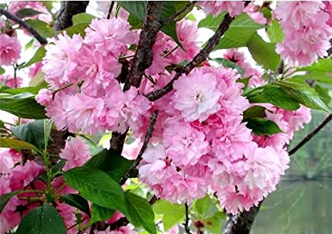 Amazon Kwanzan Cherry Tree Double Flowers 3 Year Live Tree