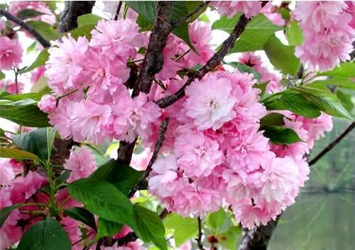 (KWANZAN Cherry Tree - Double Flowers 2 - Year Live Tree)