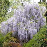 Wisteria sinensis Chinese wisteria vine 10 seeds