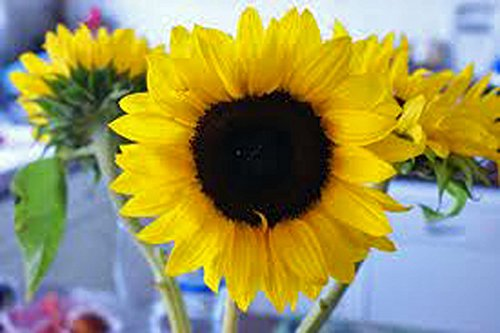 Sunflower, Mammoth Grey Stripe 100 Seeds Organic Newly Harvested, 8-12 Foot Tall -